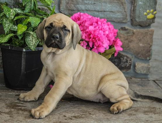 Daphne English Mastiff Puppy For Sale In Orrstown Pa Lancaster