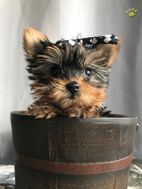 Micro Mini Teacup Pink Girl Lady Yorkshire Terrier Puppy For
