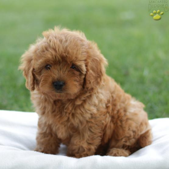 Jodie - Cavapoo Puppy for Sale in Lititz, PA | Lancaster Puppies