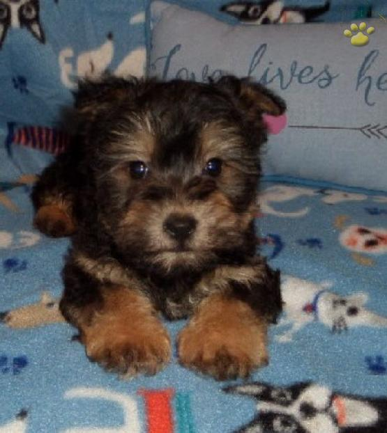 Crickets PieGrub - Morkie Puppy for Sale in Carroll, NY