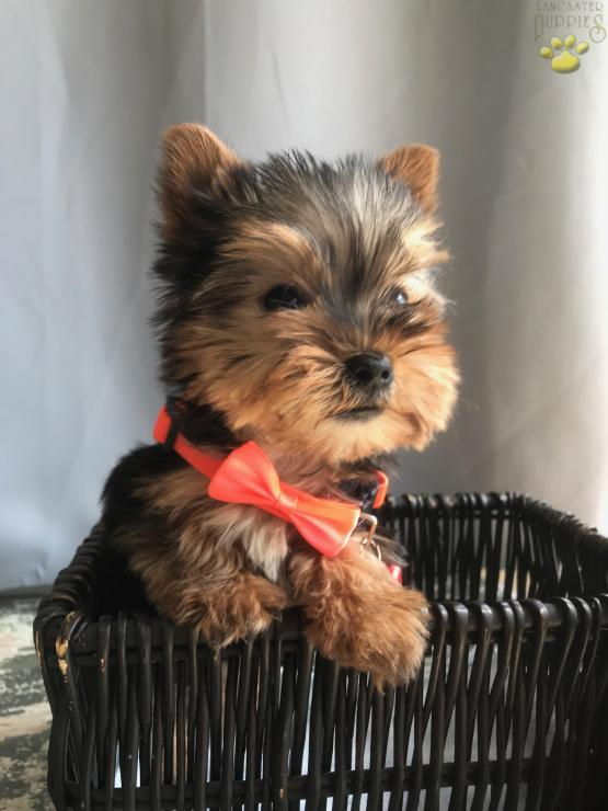 Micro Mini Teacup Stanley Male Yorkshire Terrier Puppy For