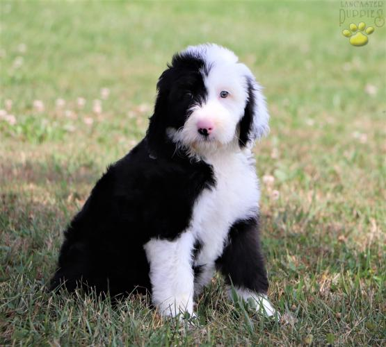 Scout Sheepadoodle Puppy For Sale In Dover Oh Lancaster Puppies