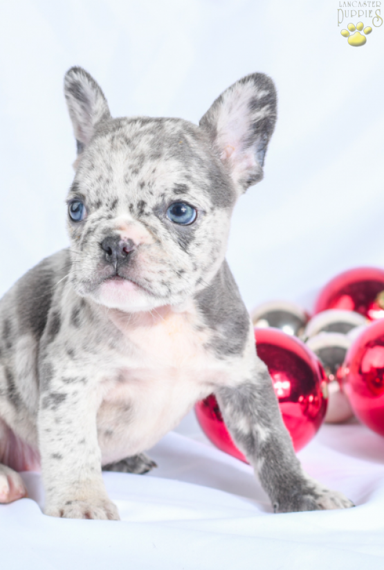 Quinn - French Bulldog, Frenchie puppy for sale in Millersburg, OH