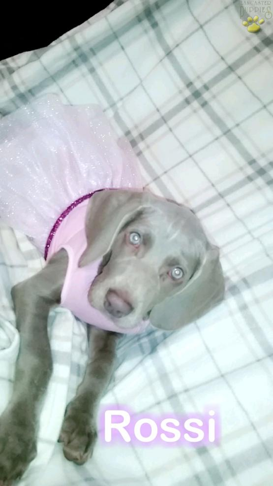 Rossi Weimaraner Puppy For Sale In Sandy Lake Pa Lancaster