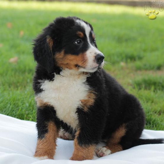 Tasha Bernese Mountain Dog Puppy For Sale In Honeybrook Pa