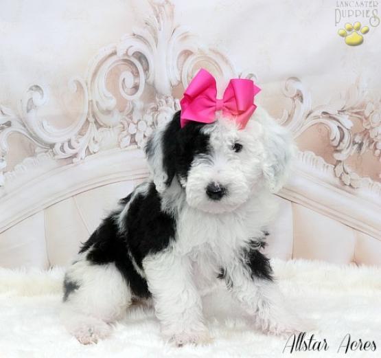 Micro MINI Sheepadoodle Brandy - Sheepadoodle Puppy for Sale