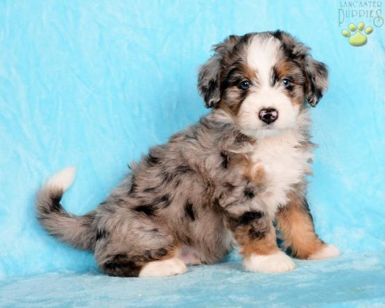 Brantley Mini Bernedoodle Puppy For Sale In