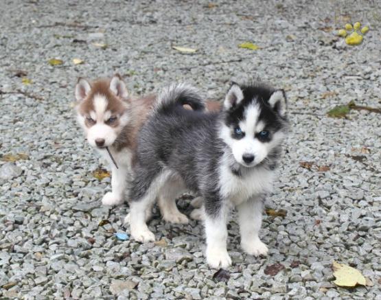 Mini Pomsky Clover Pomsky Puppy For Sale In Boswell Pa