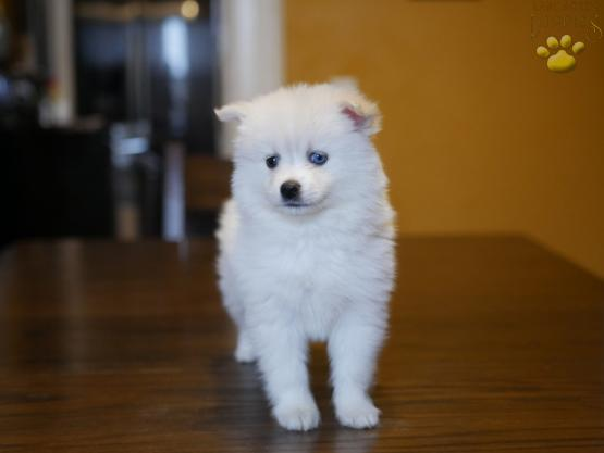 dandy-pomsky-puppy-for-sale-ohio