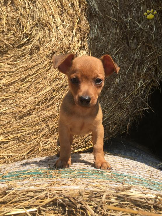 Colby Chihuahua Mix Puppy For Sale In Dry Run Pa Lancaster