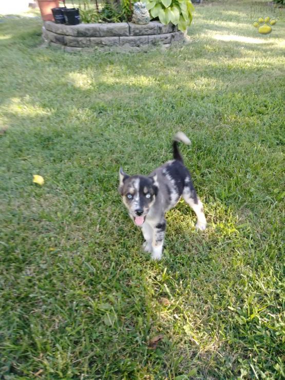 Jenny Ausky Shepherd Puppy Australian Shepherd Mix Puppy For Sale In Dayton Oh Happy Valentines Day Happyvalentinesday2016i