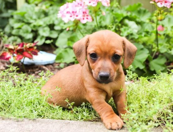 Patsy Dachshund Mix Puppy For Sale In Mifflinburg Pa Lancaster