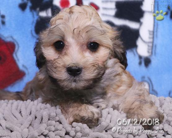 Lisa - Cavapoo Puppy for Sale in Millmont, PA   Lancaster