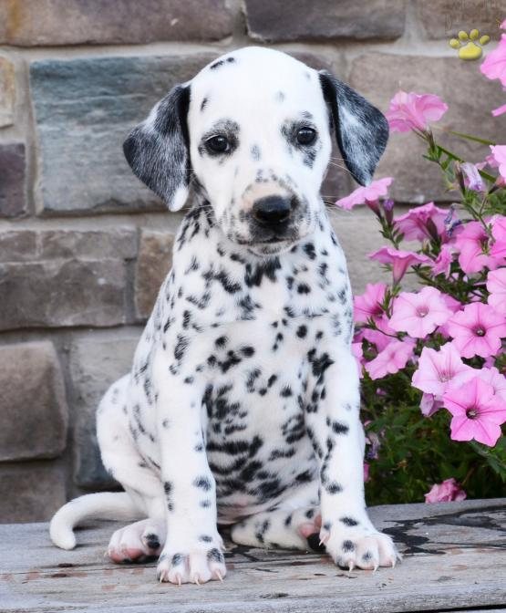 Phoebe Dalmatian Puppy For Sale In Dalton Oh Lancaster Puppies