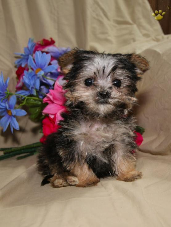 Buy Morkie Puppies For Sale In Indiana USA