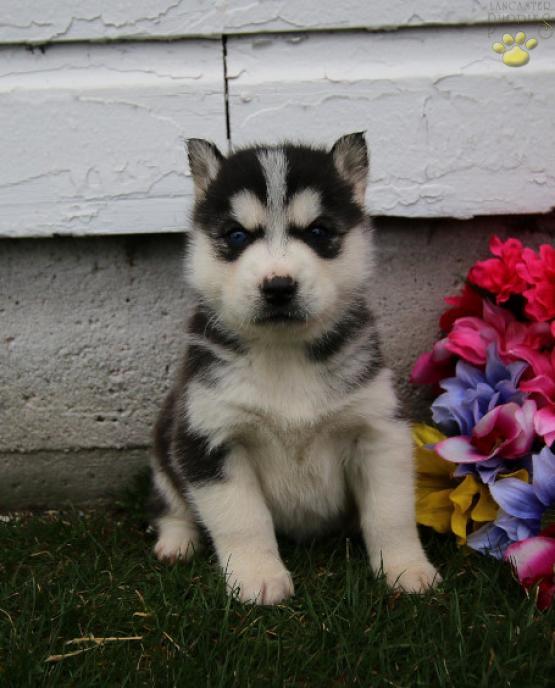 Siberia Siberian Husky Puppy For Sale In Topeka In Lancaster