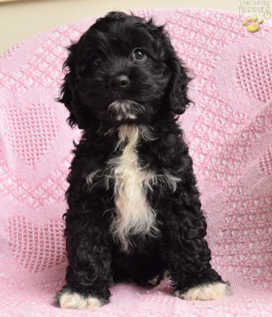 Danny - Cockapoo Puppy for Sale in Penn Yan, NY | Lancaster Puppies
