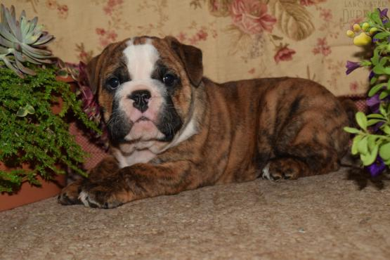 Chocolate Swirl English Bulldog Puppy For Sale In Penn Yan Ny