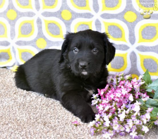 Mason Bernese Mt Doggolden Retriever Mix Puppy For Sale