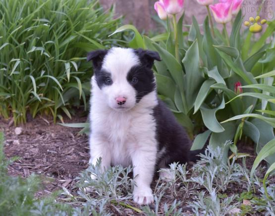 Durango - Border Collie Puppy for Sale in Dundee, OH | Lancaster
