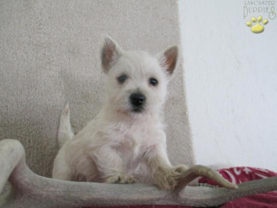 snowball west highland white terrier puppy for sale in turbotville
