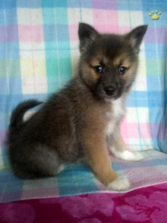 Arctic Hunter - Pomsky Puppy for Sale in Riverside County