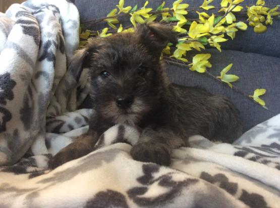 Max Miniature Schnauzer Puppy For Sale In Millerstown Pa