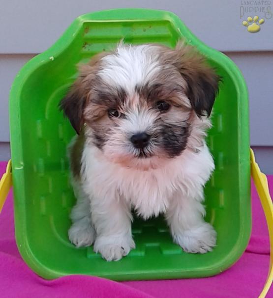 Tanner Havanese Shih Tzu Hybrid Puppy
