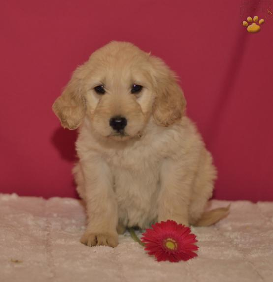 Tasha - Goldendoodle Puppy for Sale in Holmesville, OH