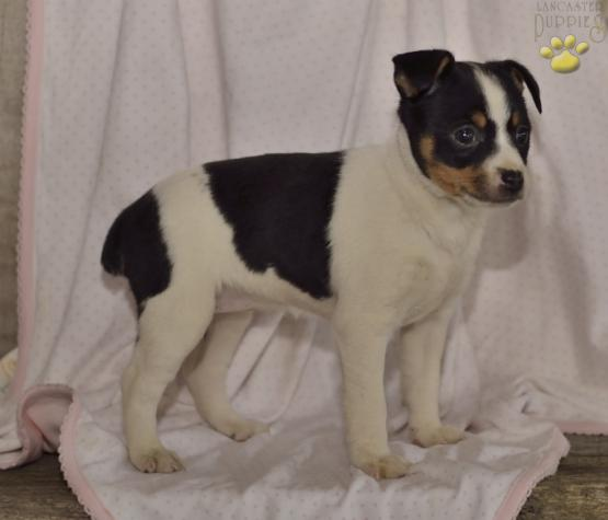 Nani Toy Fox Terrier Puppy For Sale In Shreve Oh Lancaster