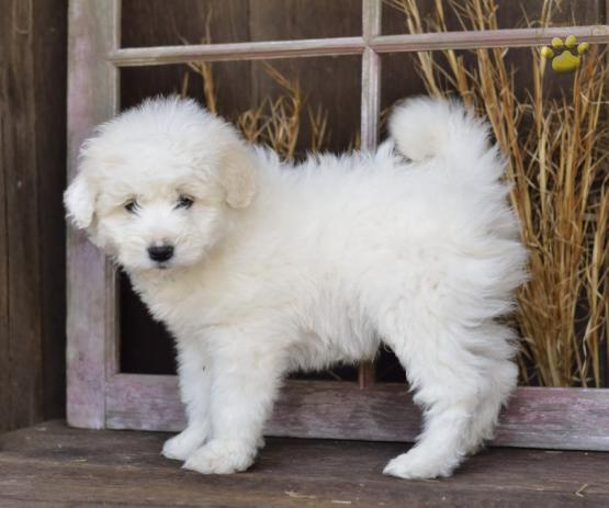 Silver Eskipoo Puppy For Sale In Fresno Oh Lancaster Puppies
