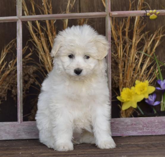 Sunshine Eskipoo Puppy For In