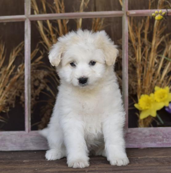 Snuffy Eskipoo Puppy For Sale In Fresno Oh Lancaster Puppies
