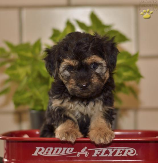 tinker morkie puppy for sale in salamanca ny lancaster puppies