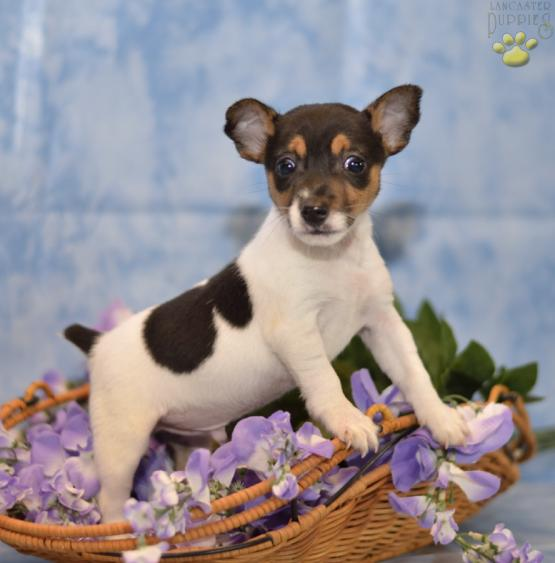 Sparkey Toy Fox Terrier Puppy For Sale In Baltic Oh Lancaster