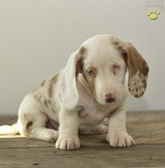 Charles Dachshund Puppy For Sale In Millersburg Oh Lancaster
