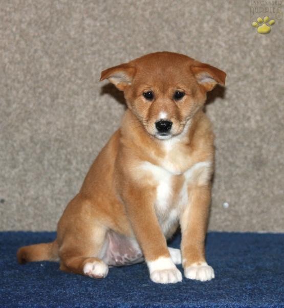 Olivia Shiba Inu Mix Puppy For