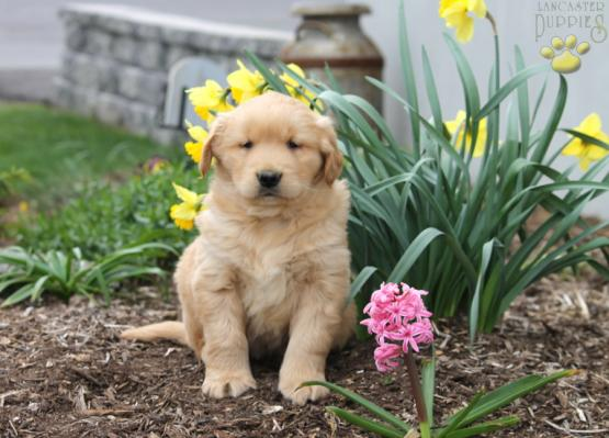 Tucker Golden Retriever Puppy For Sale In Honey Grove Pa