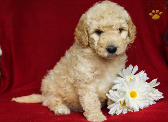 Cody Mini Goldendoodle Puppy For Sale In Lewisburg Pa Lancaster