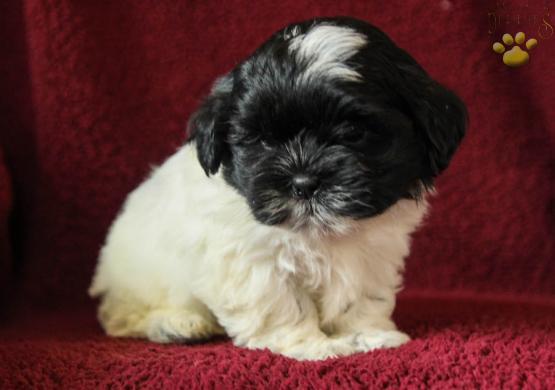 Bruno Maltzu Malteseshih Tzu Puppy For Sale In Mifflinburg Pa