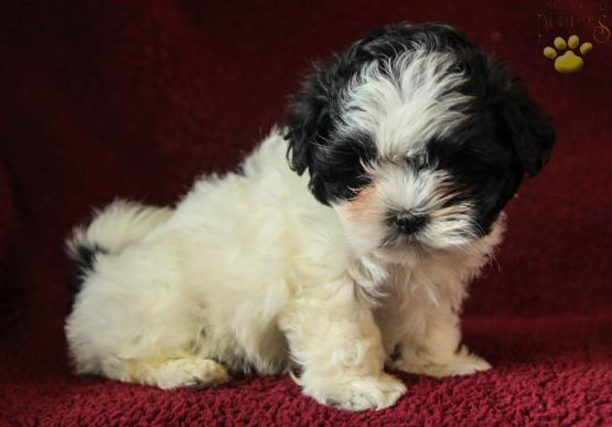 Babe Maltzu Malteseshih Tzu Puppy For Sale In Mifflinburg Pa