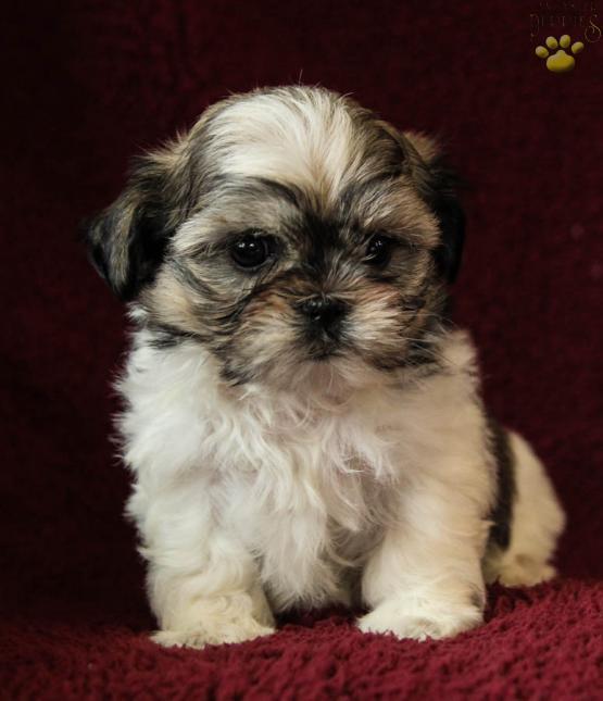Bubba Maltzu Malteseshih Tzu Puppy For Sale In Mifflinburg Pa