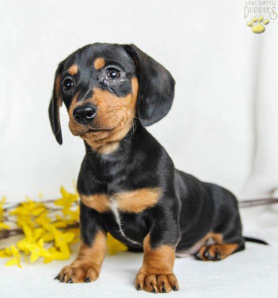 Toby Dachshund Mini Puppy For Sale In Dalmatia Pa Lancaster