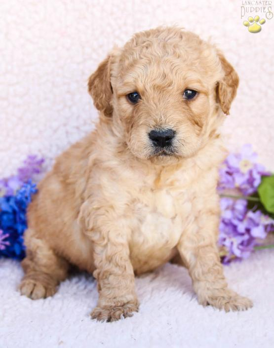 Calvin Mini Goldendoodle Puppy For Sale In Mifflintown Pa