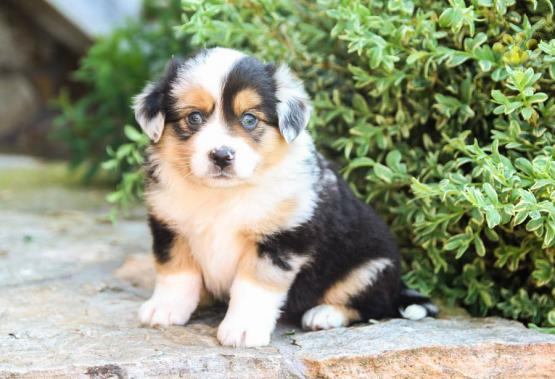 Fern - Mini Australian Shepherd Puppy for Sale in Blain, PA