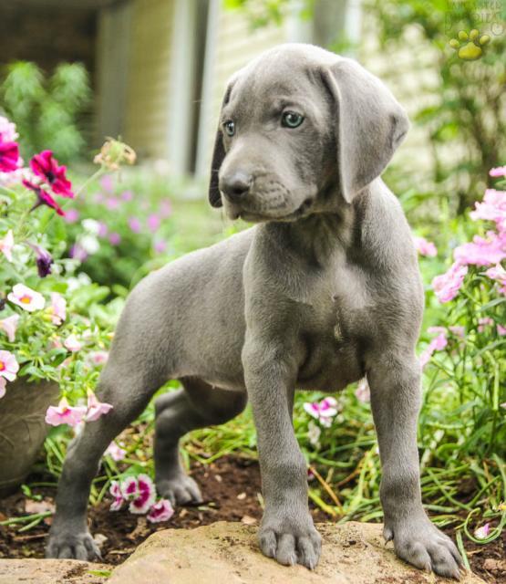 Addy Weimaraner Puppy For Sale In Mifflinburg Pa Lancaster