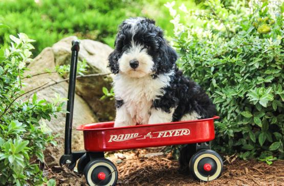 Bruno F1b Genergation Mini Bernedoodle Puppy For Sale In