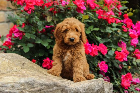 Sunny (f2b Generation) - Mini Goldendoodle Puppy for Sale in