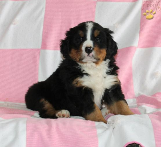 Lori Bernese Mountain Dog Puppy For Sale In Mt Joy Pa Lancaster