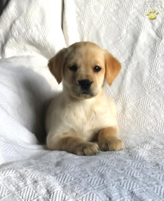 Ginger Golden Retrieverlab Puppy For Sale In Christiana Pa